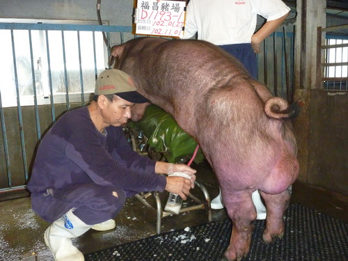台灣區種豬產業協會10210期D1193-01採精相片