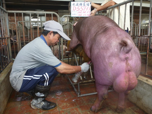 台灣區種豬產業協會10210期D0557-11採精相片