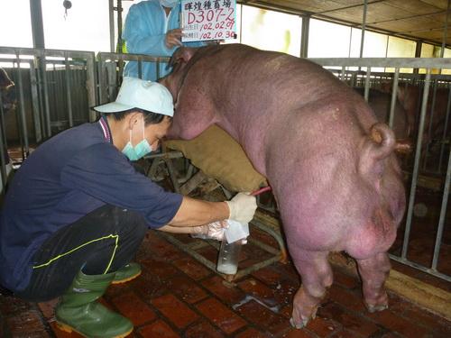 台灣區種豬產業協會10210期D0307-02採精相片