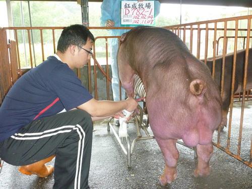 台灣區種豬產業協會10210期D0782-01採精相片