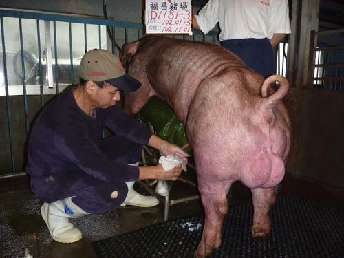 台灣區種豬產業協會10210期D1181-03採精相片
