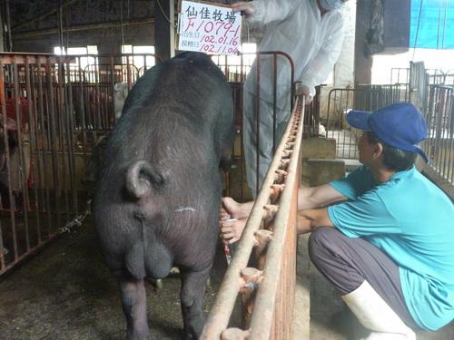 台灣區種豬產業協會10210期F1079-01採精相片