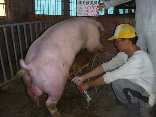 台灣區種豬產業協會10210期L0765-01採精相片
