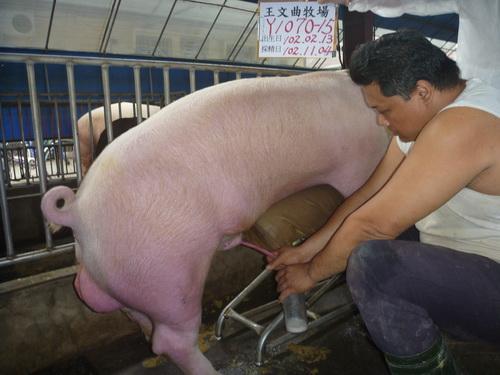 台灣區種豬產業協會10210期Y1070-15採精相片