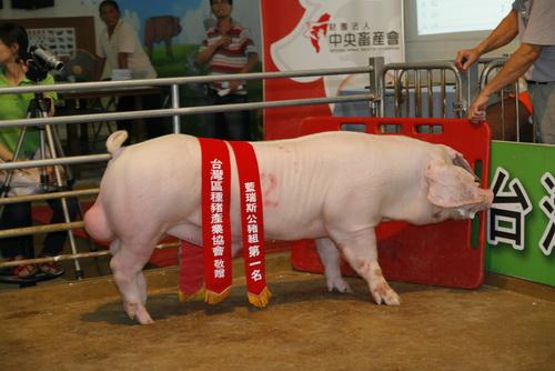 台灣區種豬產業協會10209期L1620-05拍賣相片(高價豬)