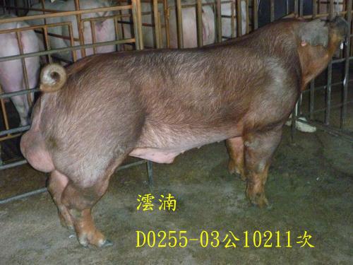台灣區種豬產業協會10211期D0255-03側面相片