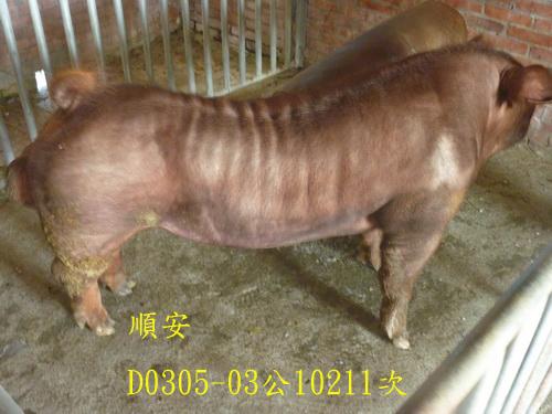 台灣區種豬產業協會10211期D0305-03側面相片