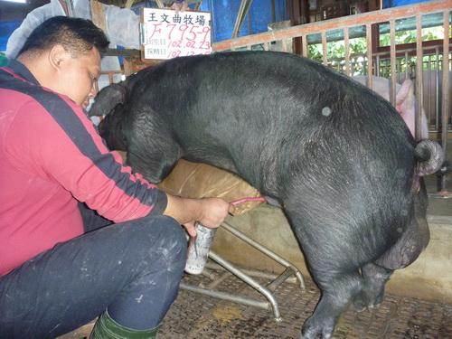 台灣區種豬產業協會10211期F0795-09採精相片