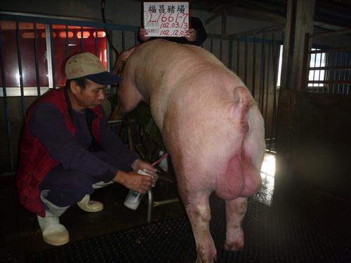 台灣區種豬產業協會10211期L1661-07採精相片