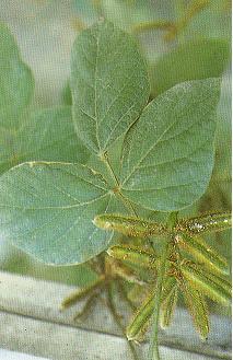 擬大豆Calopogonium mucunoides Desv.