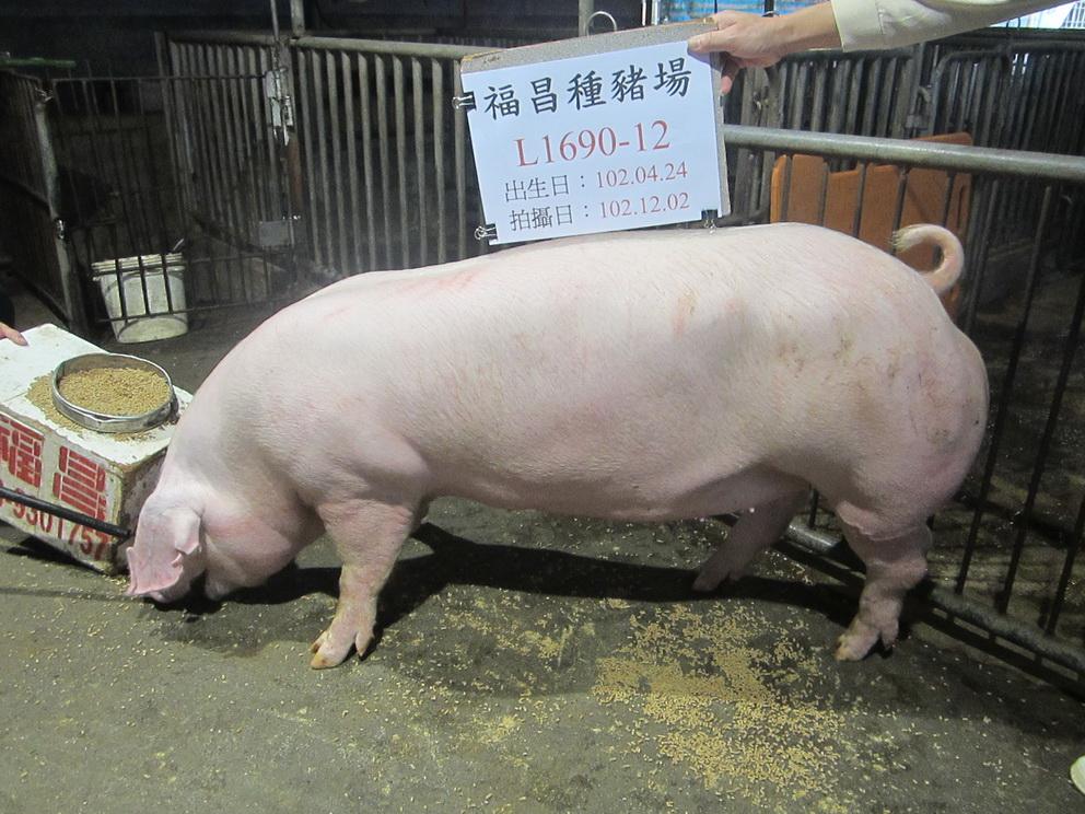 台灣區種豬產業協會10211期L1690-12側面相片