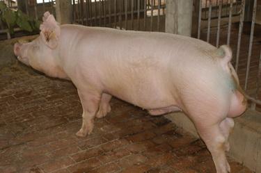 中央畜產會201305期Y0776-02體型-全身相片