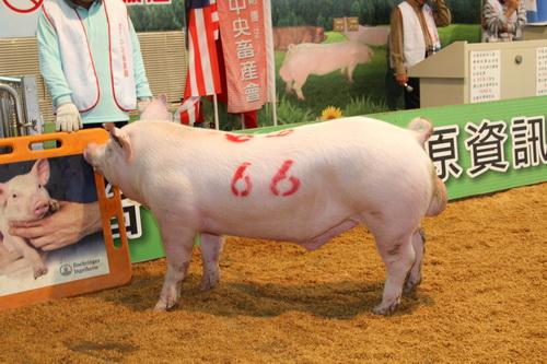中央畜產會201305期Y0776-03拍賣照片(高價豬)