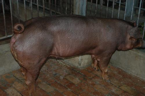 中央畜產會201307期D0512-04體型-全身相片