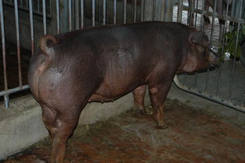 中央畜產會201307期D0512-03體型-全身相片