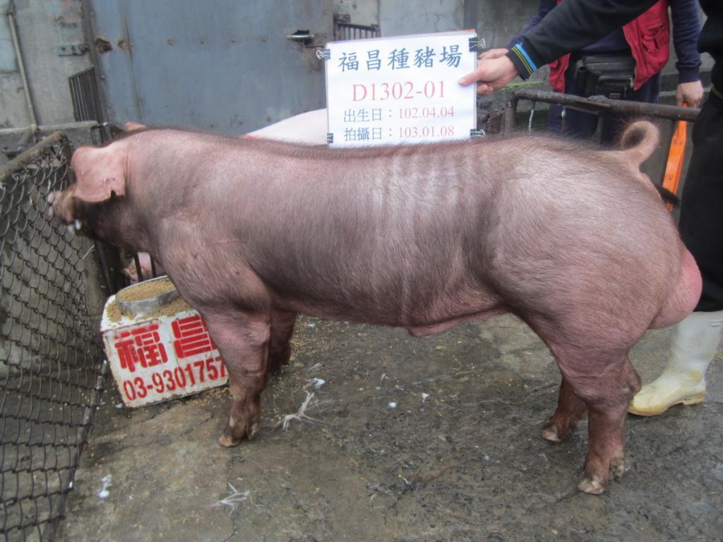 台灣區種豬產業協會10301期D1302-01側面相片