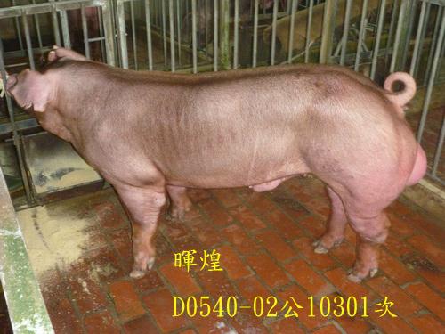 台灣區種豬產業協會10301期D0540-02側面相片