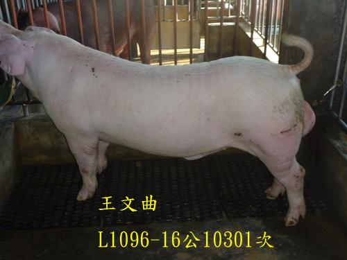 台灣區種豬產業協會10301期L1096-16側面相片