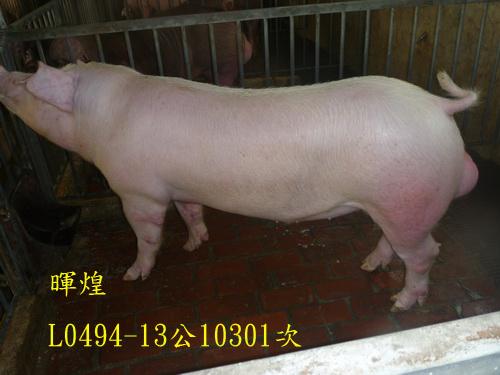 台灣區種豬產業協會10301期L0494-13側面相片