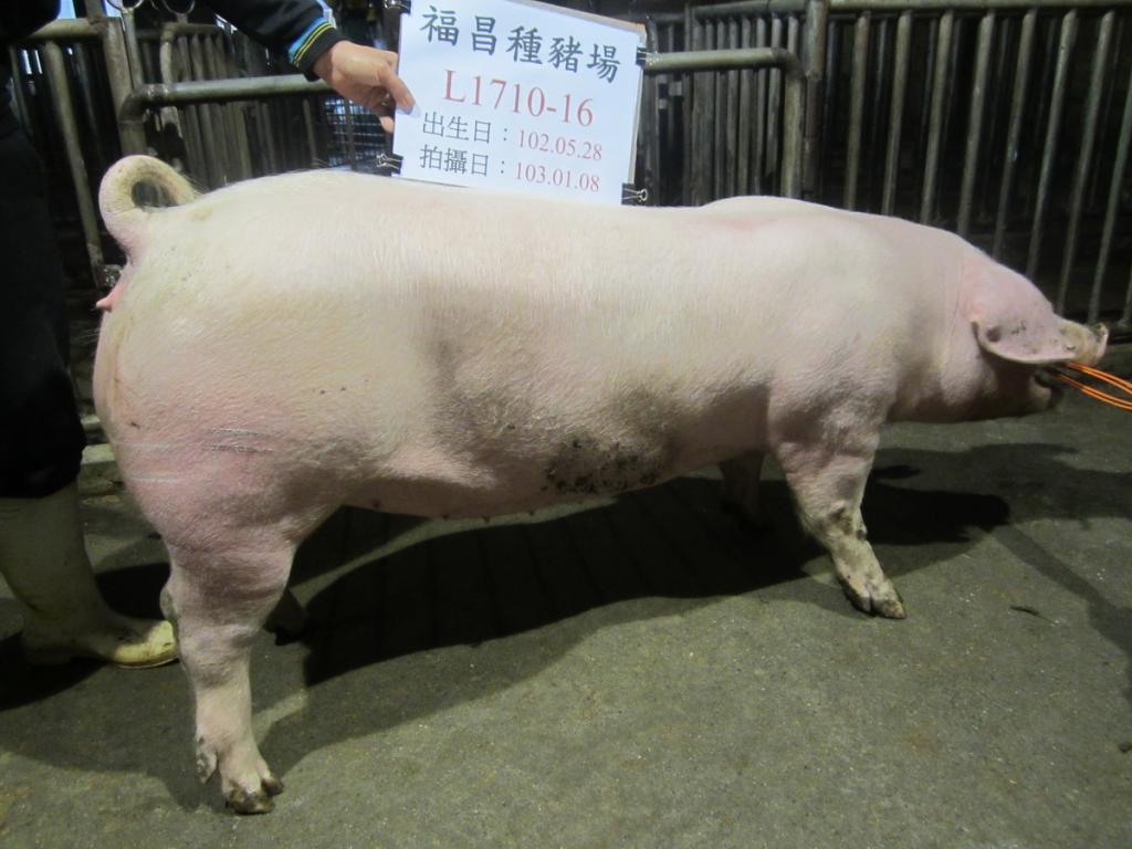 台灣區種豬產業協會10301期L1710-16側面相片