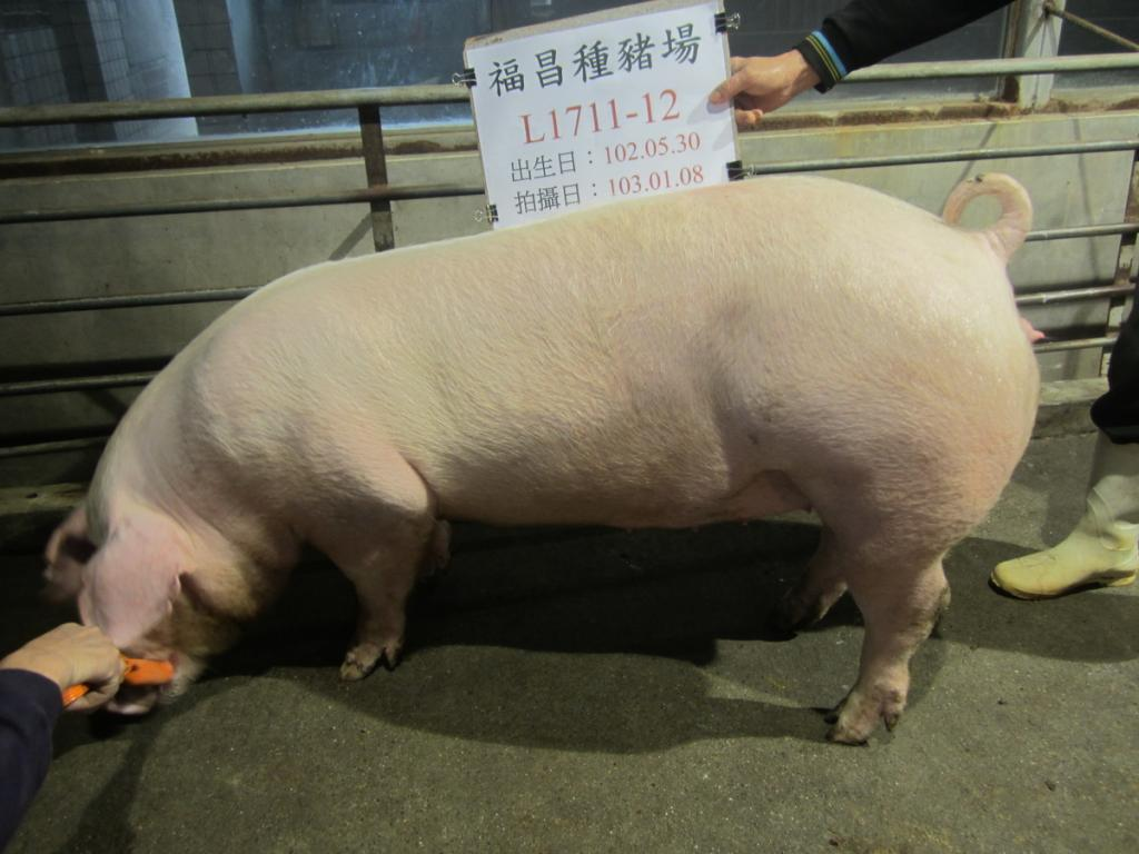 台灣區種豬產業協會10301期L1711-12側面相片