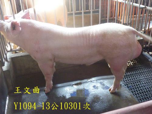 台灣區種豬產業協會10301期Y1094-13側面相片