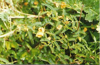 鵝鑾鼻決明Cassia garambiensis Hosokawa