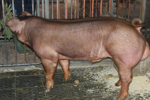 中央畜產會201309期D0410-02體型-全身相片
