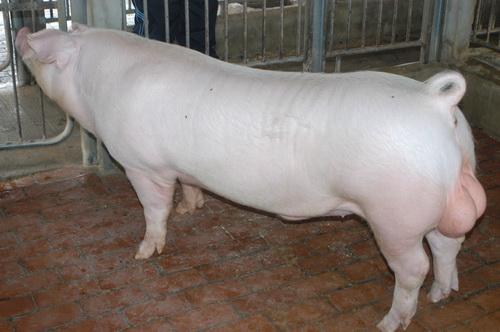 中央畜產會201309期L0605-11體型-全身相片