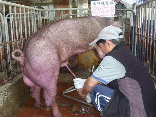 台灣區種豬產業協會10302期D0604-06採精相片