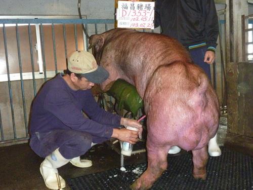 台灣區種豬產業協會10302期D1353-01採精相片