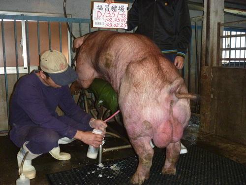 台灣區種豬產業協會10302期D1351-06採精相片