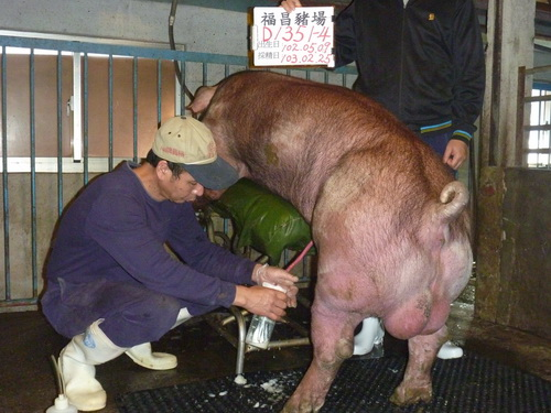 台灣區種豬產業協會10302期D1351-04採精相片