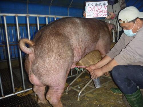 台灣區種豬產業協會10302期D0832-09採精相片