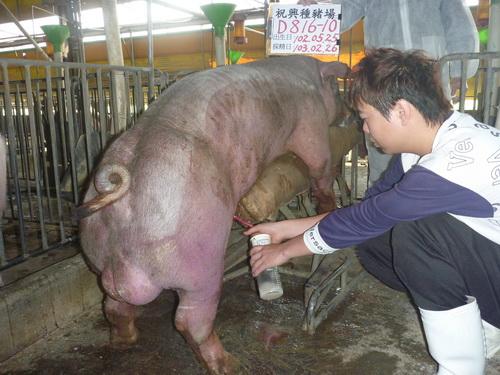 台灣區種豬產業協會10302期D0816-10採精相片