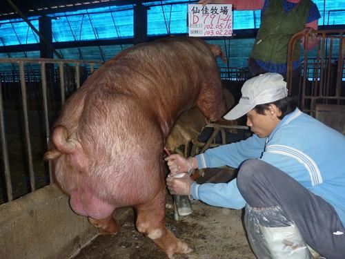 台灣區種豬產業協會10302期D0791-04採精相片