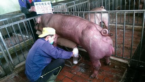 台灣區種豬產業協會10302期D0356-04採精相片
