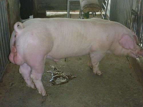 台灣區種豬產業協會10302期L1504-09側面相片