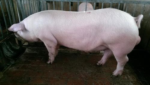 台灣區種豬產業協會10302期L0512-11側面相片