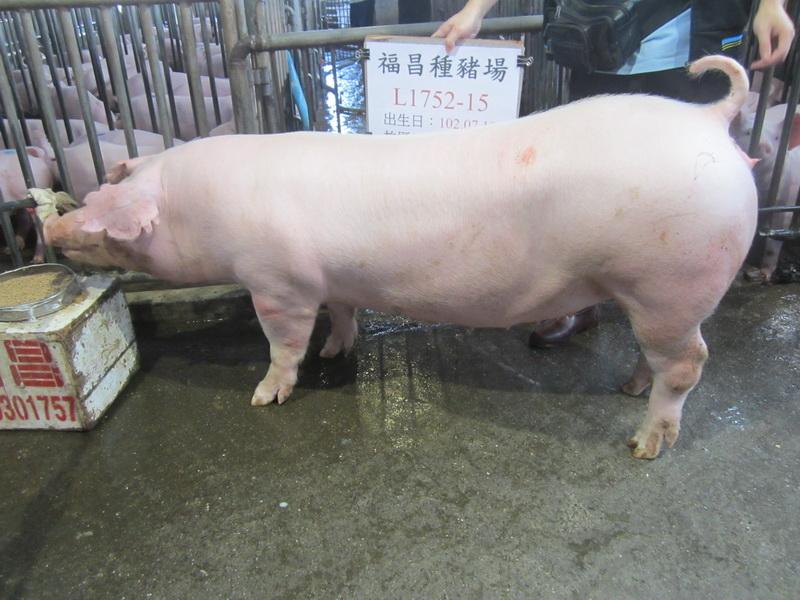 台灣區種豬產業協會10302期L1752-15側面相片