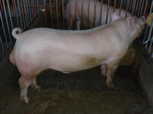 台灣區種豬產業協會10302期Y1119-10側面相片