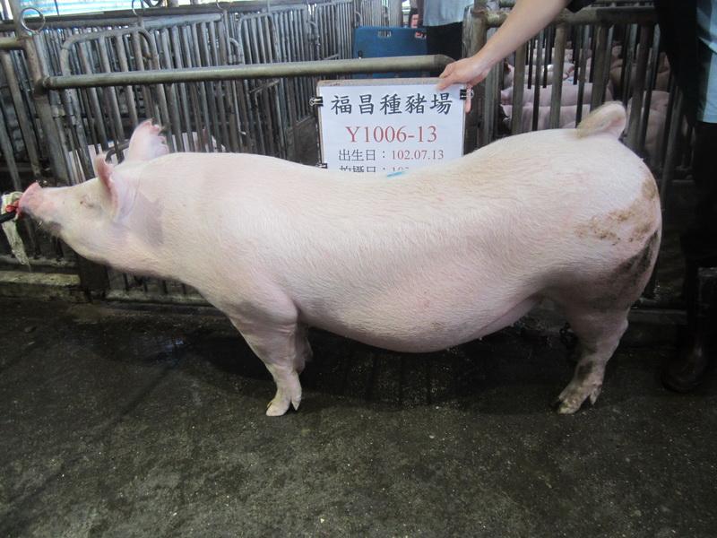 台灣區種豬產業協會10302期Y1006-13側面相片