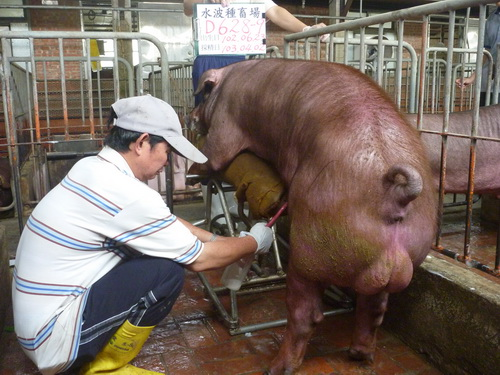 台灣區種豬產業協會10303期D0628-09採精相片