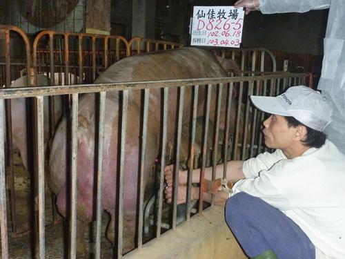 台灣區種豬產業協會10303期D0826-05採精相片