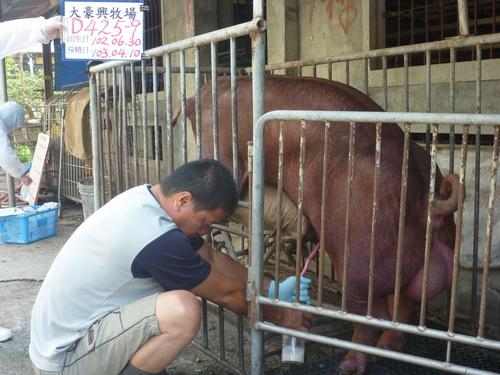台灣區種豬產業協會10303期D0425-09採精相片