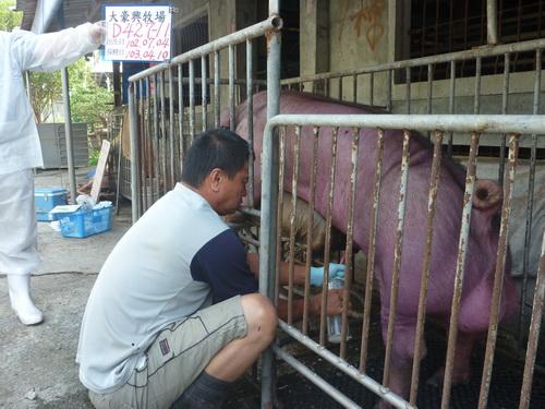 台灣區種豬產業協會10303期D0427-11採精相片