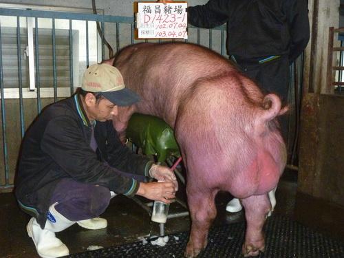 台灣區種豬產業協會10303期D1423-01採精相片