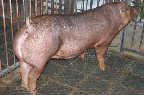 中央畜產會201310期D0866-01體型-全身相片