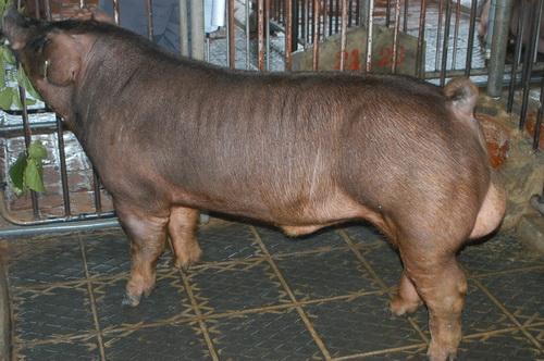 中央畜產會201310期D0829-01體型-全身相片