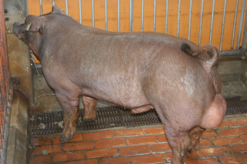 中央畜產會201310期D1543-04體型-全身相片